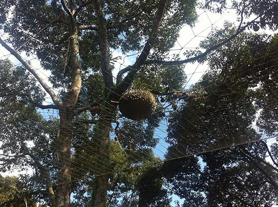 A Peek Into A Durian Plantation